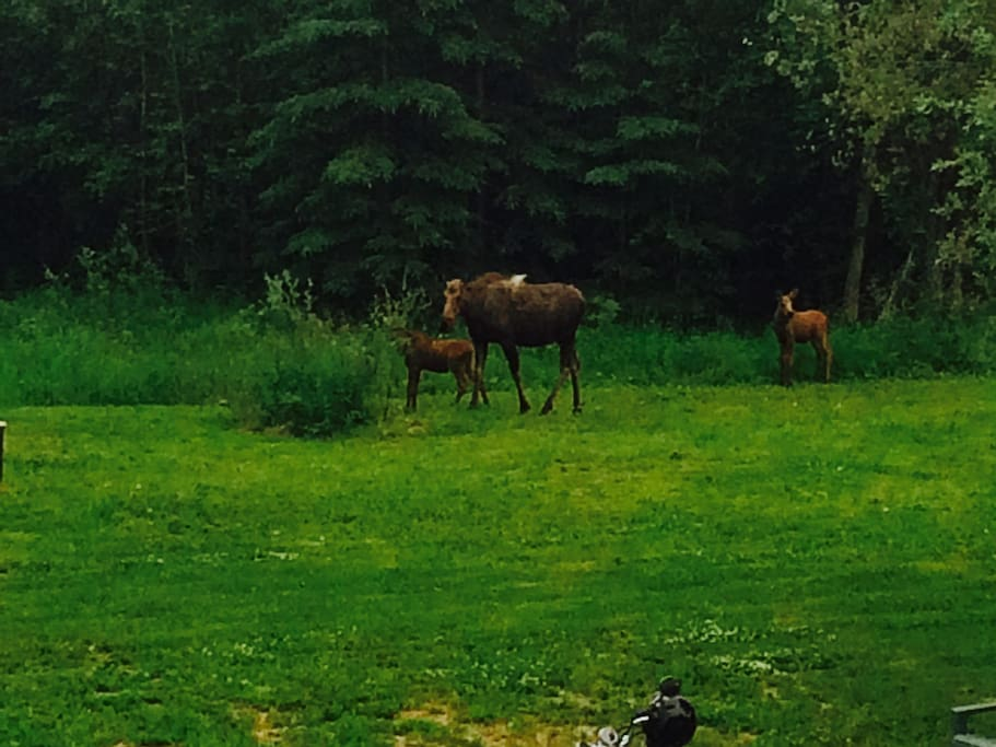 Moose on the property this summer