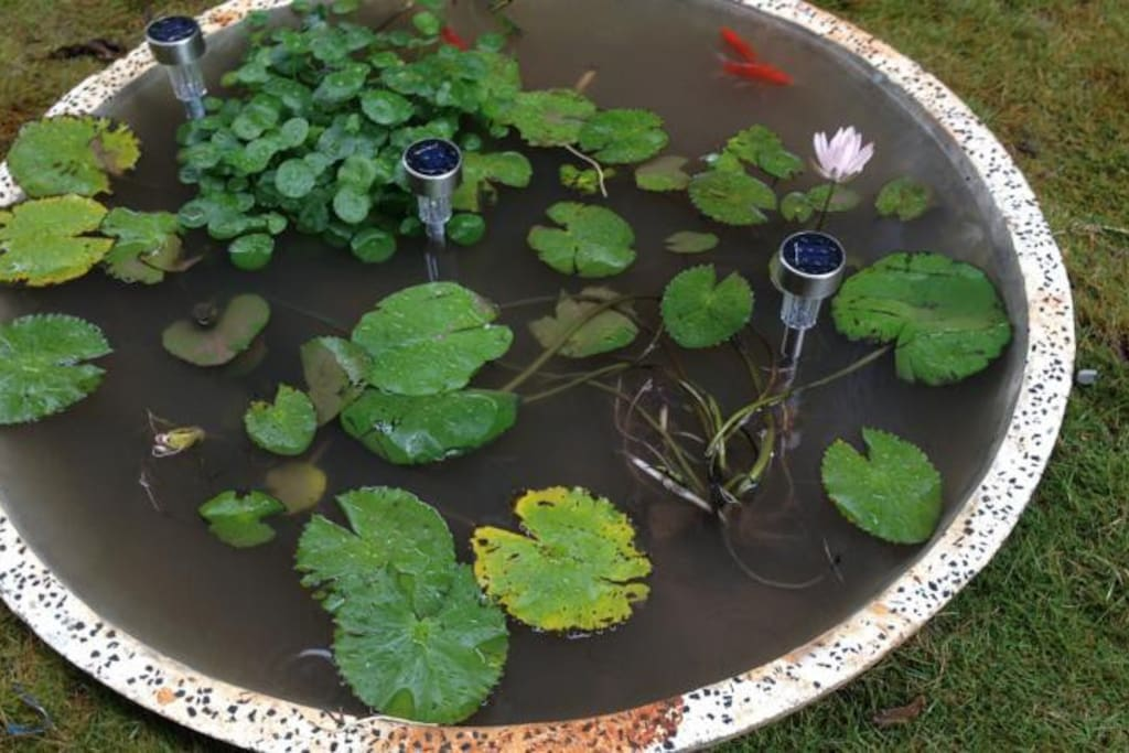 Mini Lotus Pond