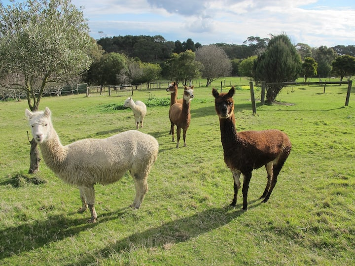 Rolling Hills and Alpacas