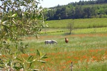 les chevaux de Ginestas dans les champs de coquelicots, bordés d'oliviers