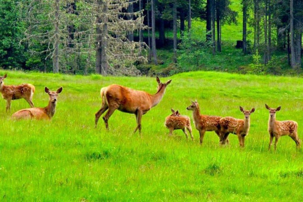 Caprioli, daini e cervi nel Parco Naturale di Paneveggio
