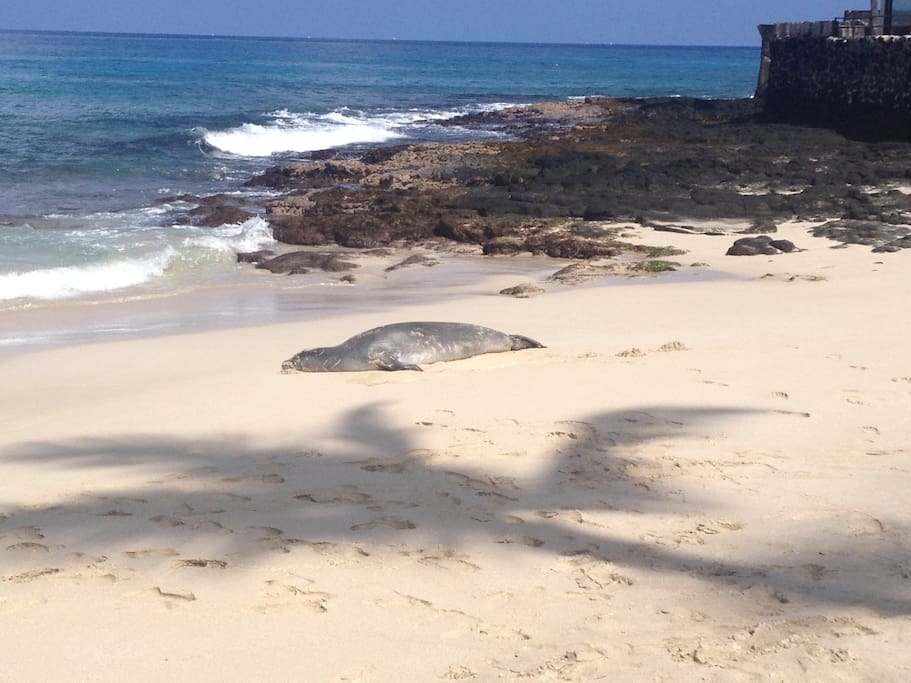 Monk seal on my favorite and closest beach, Magic Sands!