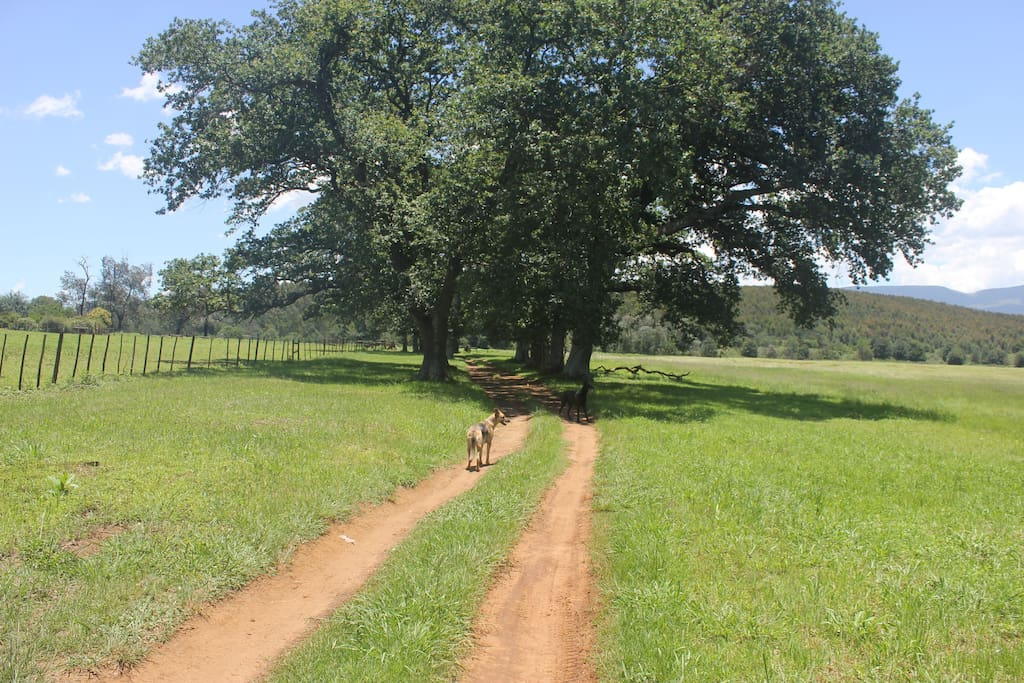 Dive way to the farm through our oak tree avenue.
