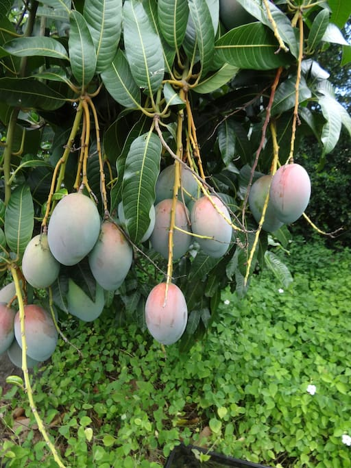The Haden Mango's are big and delicious