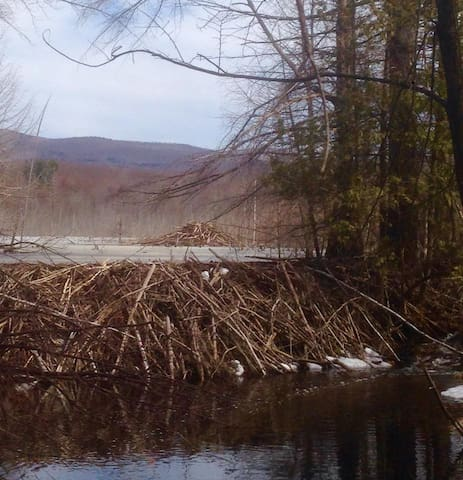 This impressive beaver dam is just a short walk through the woods