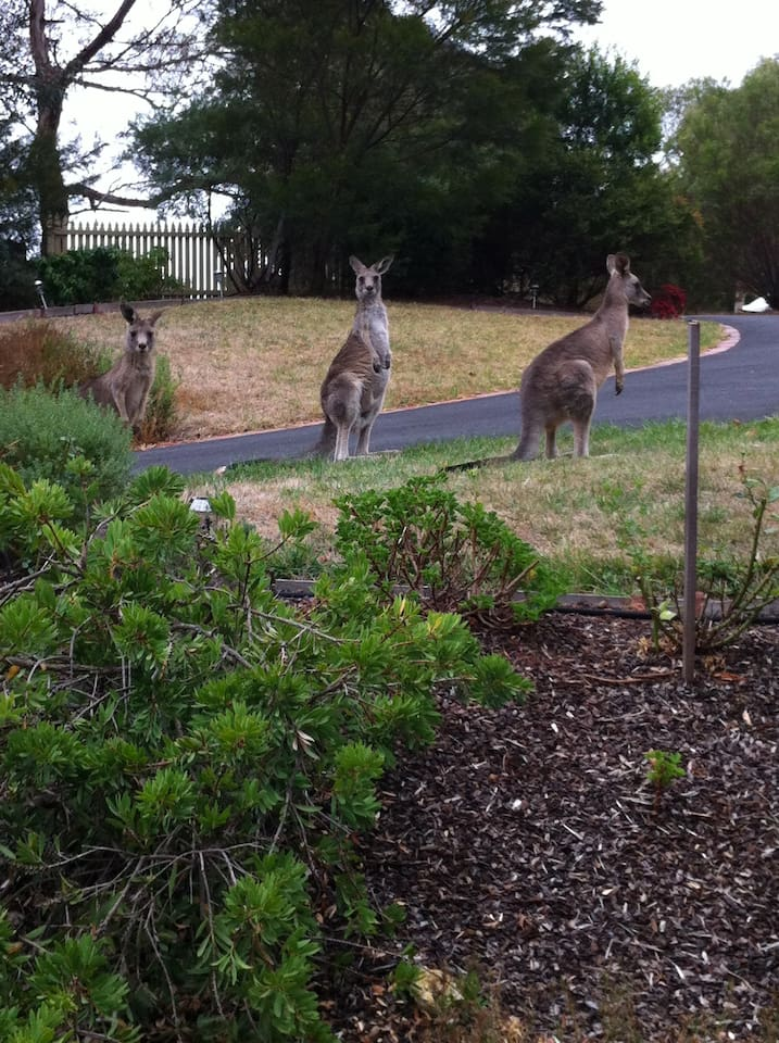 Kangaroos in the front garden - a regular occurrence.