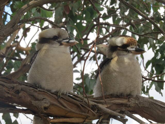 Kookaburra's in the trees nearby.