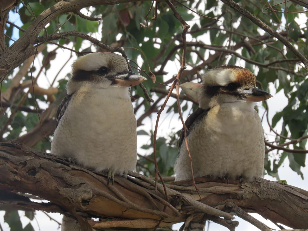 Kookaburra's in the trees nearby.