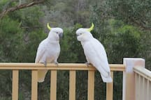 Cockatoos on our decking