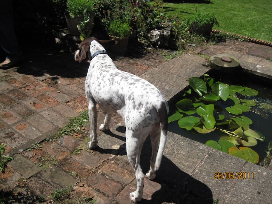 This is Nellie, our English pointer