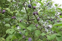 Plums, blackcurrents, redcurrents,walnuts,apples and pears, help yourself.