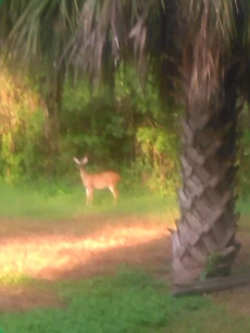 Deer in the middle of town