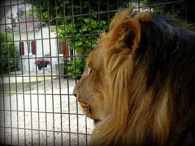 Chez N'Gou le lion. - Cussay