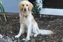 Our sweet Golden Retriever, Sadie, just short of two years old.  She loves everyone!