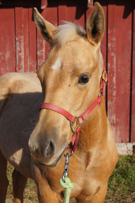 Zans Flashy Murphy 2014 is our yearling filly and can be found socializing with the cats, dogs and other horses on the farm.