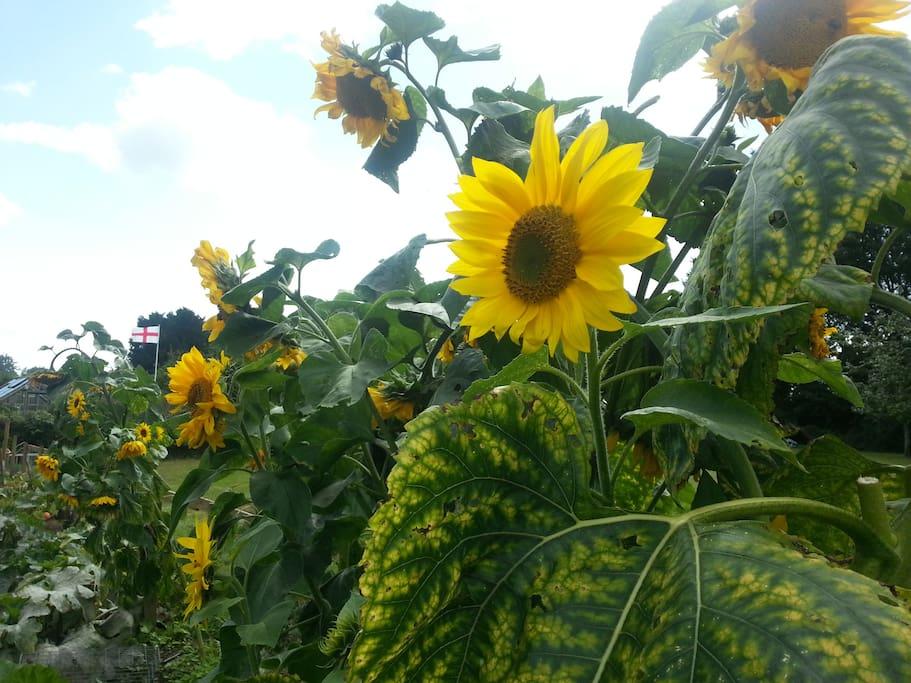 Sunflowers in the kitchen garden
