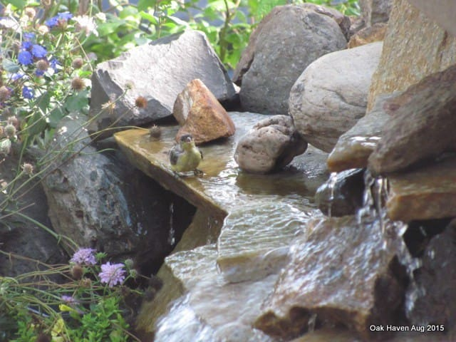 Goldfinch at the waterfall