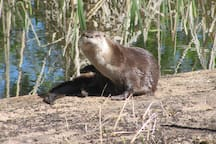 Otter who came to visit our pond for a couple days