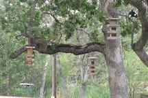Acorn woodpecker in flight to the feeders
