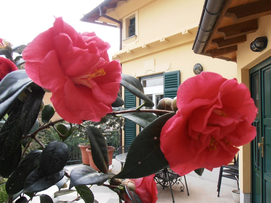 My red camelia on the terrace