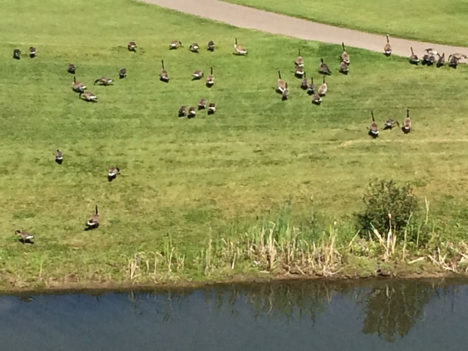 Canada Geese at Our pond right outside from your guest bedroom windows