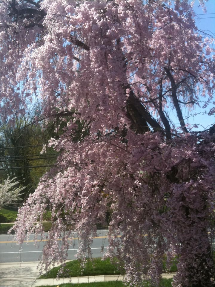Our tree in the front yard in spring time
