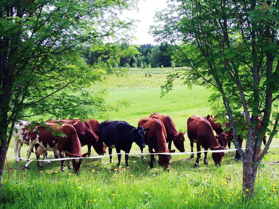 Kyr som tilhører gården.
