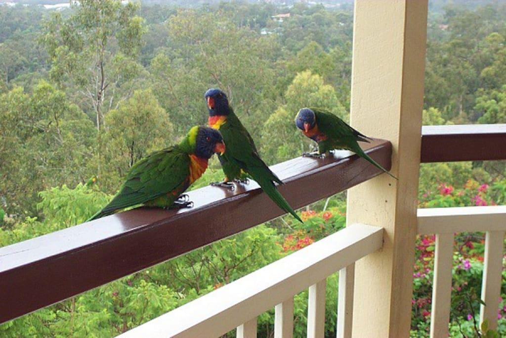Native parakeets