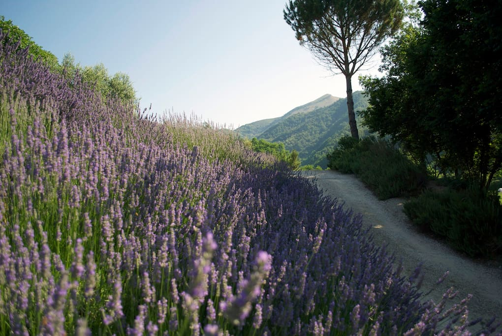 The villa is surrounded by terraces of lavender