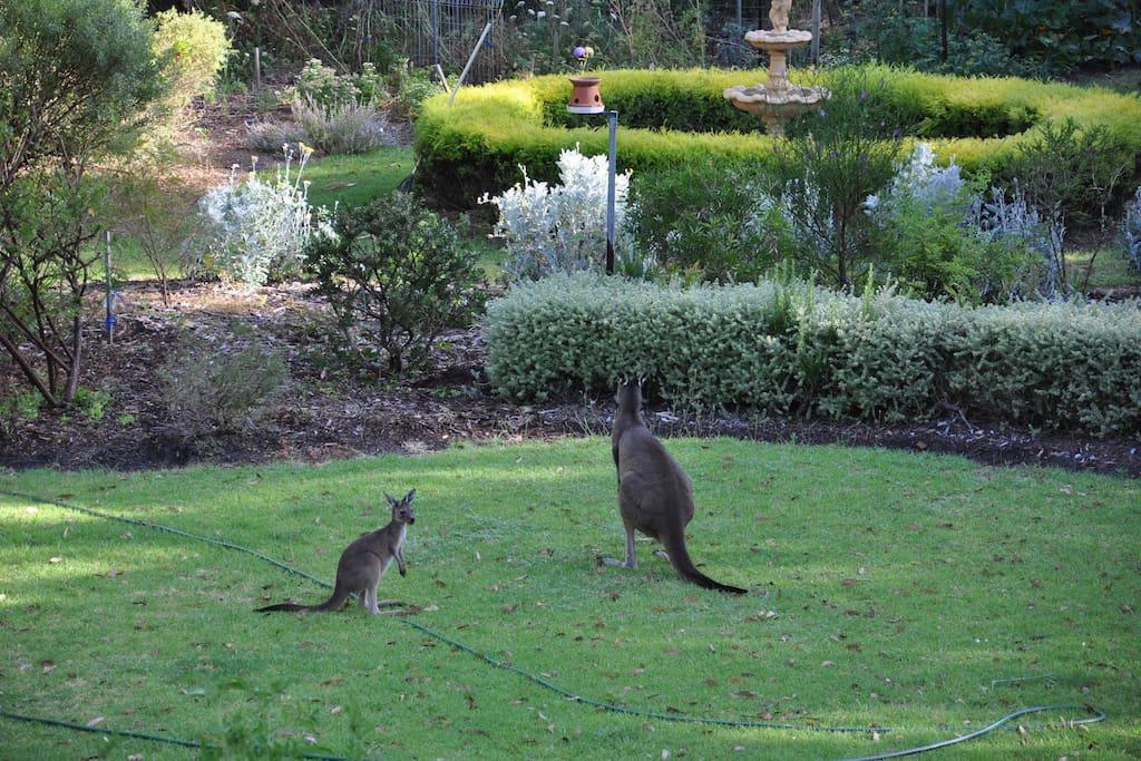 Kangaroo and Joey(baby)