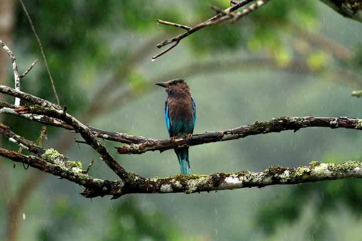 Indian Roller : Winged Sapphire