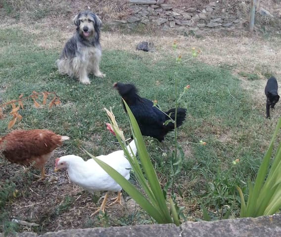 dog, cats and chickens