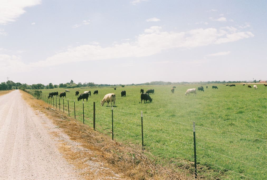 Contented cows graze at entrance in spring.