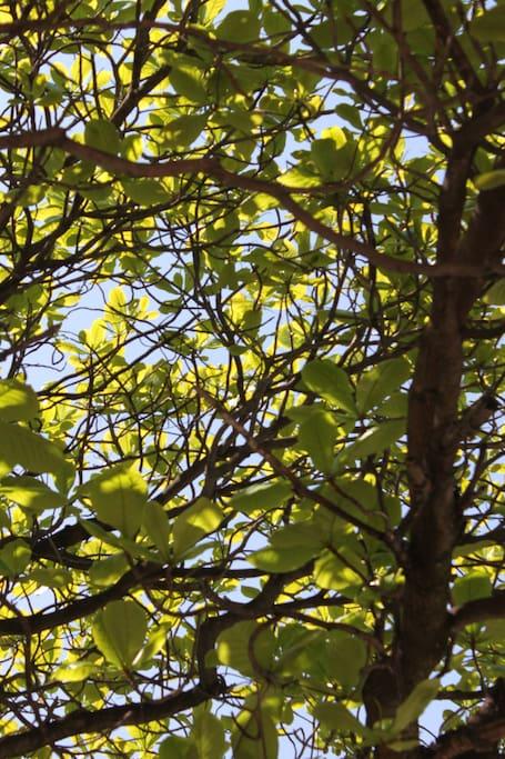 A varanda conta com a sombra de uma árvore Sete Copas.