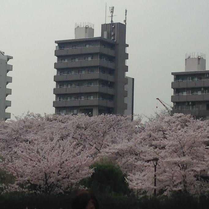 さかさですが、桜の時期のアパート全景です。