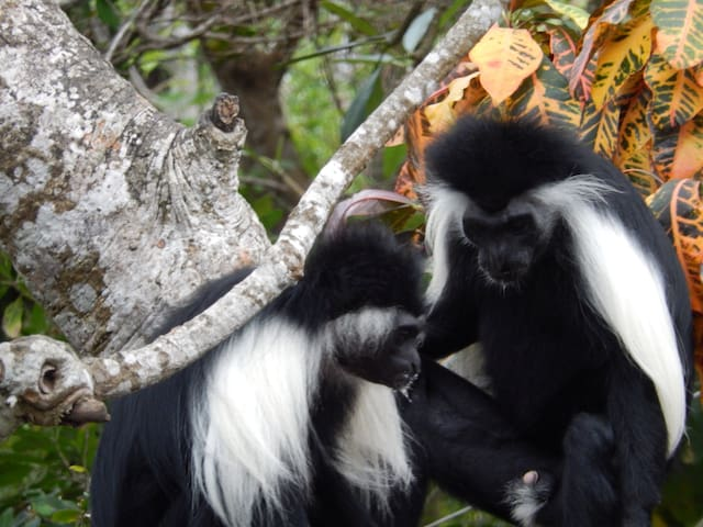 Our Colobus monkeys
