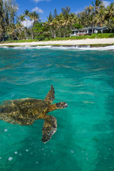 Honu out front of Maluhia
