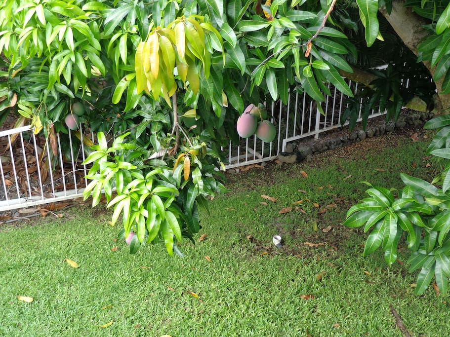 If you are lucky the mangoes will be ripe!