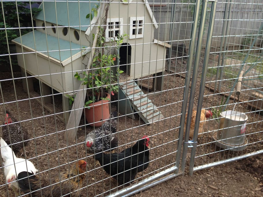 Happy urban chickens, eager to meet Airbnb guests.