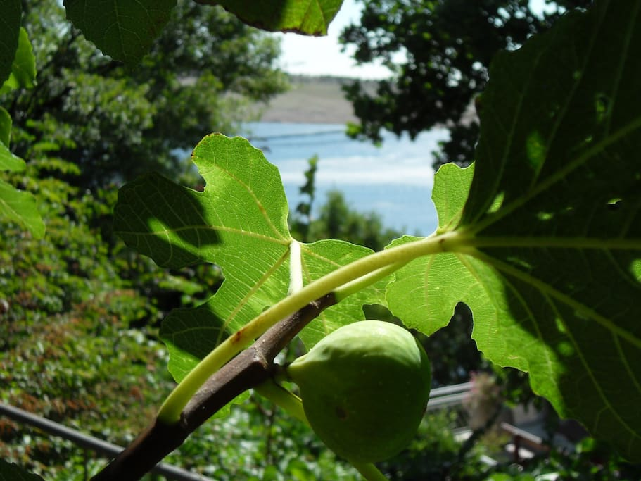 The sea-view through fig leaves.