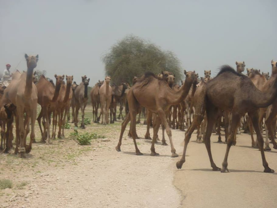 Camels are ready for the ride.