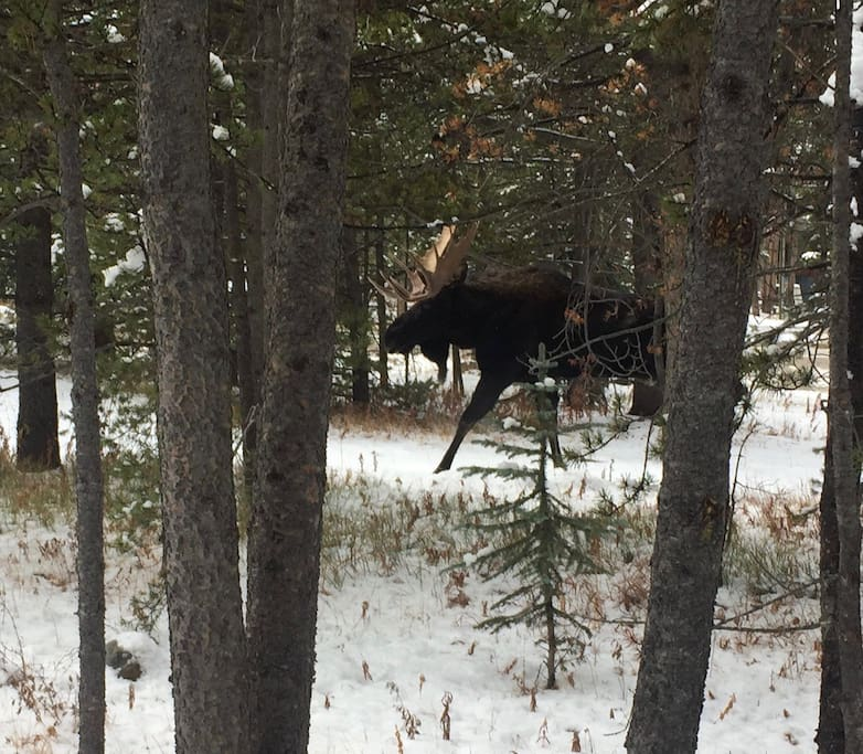 The inspiration for the Spruce Moose walks through the property regularly!
