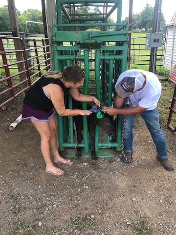 A guest learning how to tag a calf