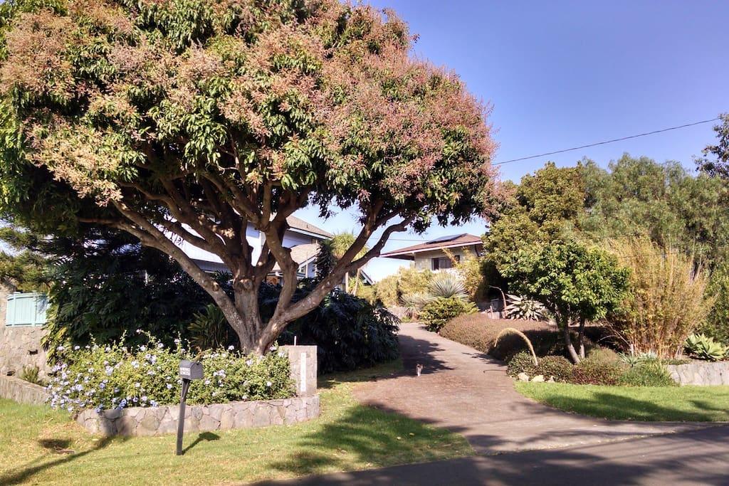Our beautiful Green Mango Tree.