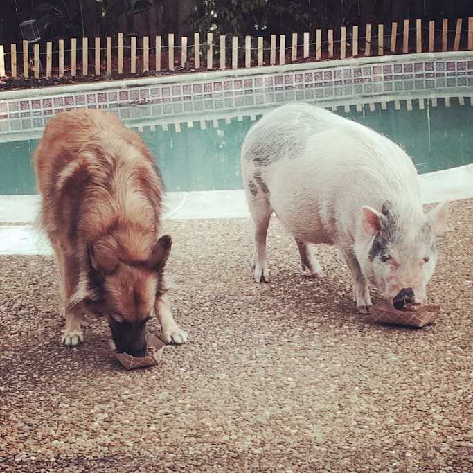 Come and meet our kids. Ginger is our beautiful dog and Vinnie is our ' not so mini ' pig. He has his own Piggie paradise in the back where he stays most of the time