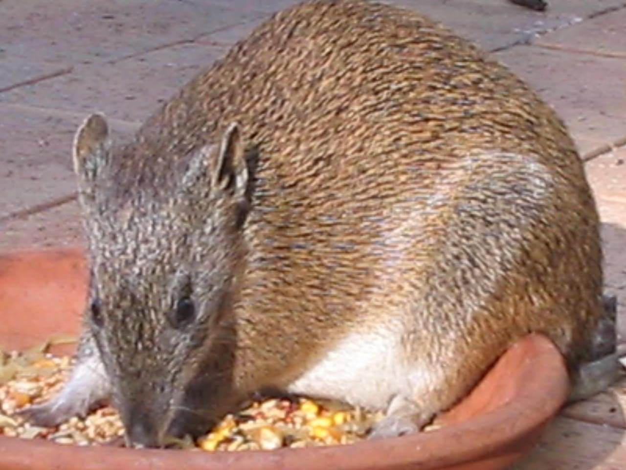 Bandicoots forage and feed in the garden. They are tame and friendly and will even feed from your hands.