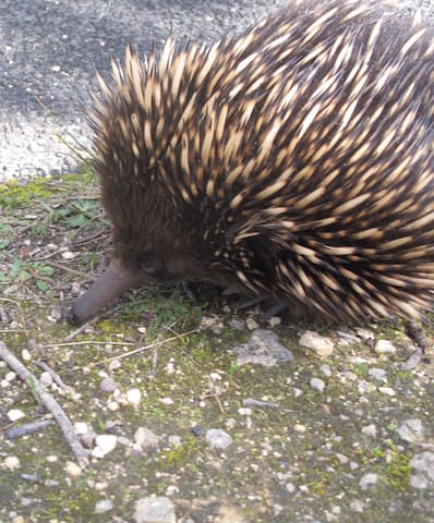 Spring is in the air and the Echidnas are about! One of the two monotremes found on Tolka, the other is the Platypus.