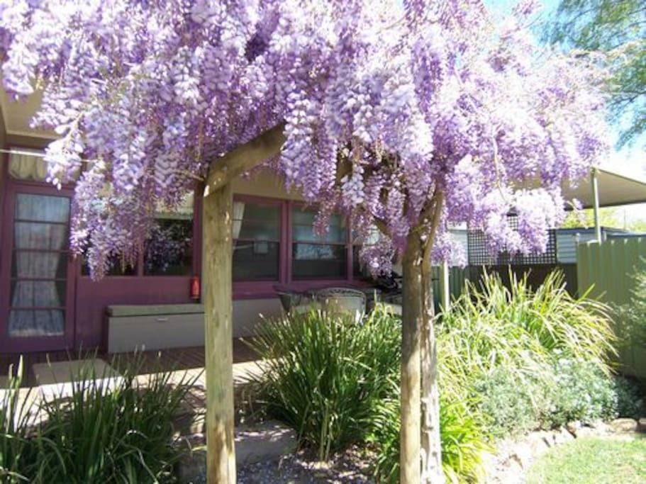 Stunning Wisteria display in spring. Smells delightful