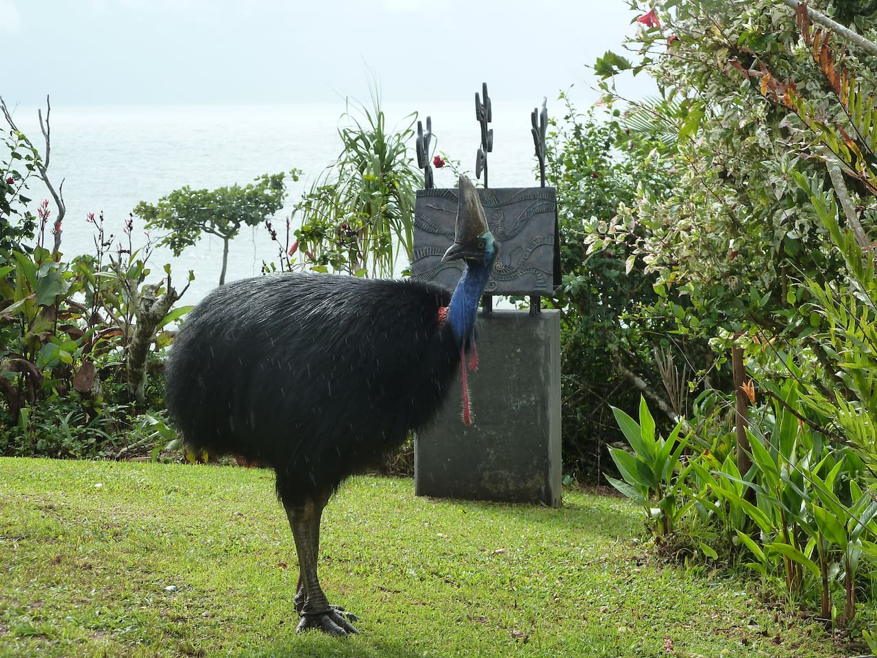 A cassowary in the front garden with panoramic views of the Coral Sea and tropical coastline.