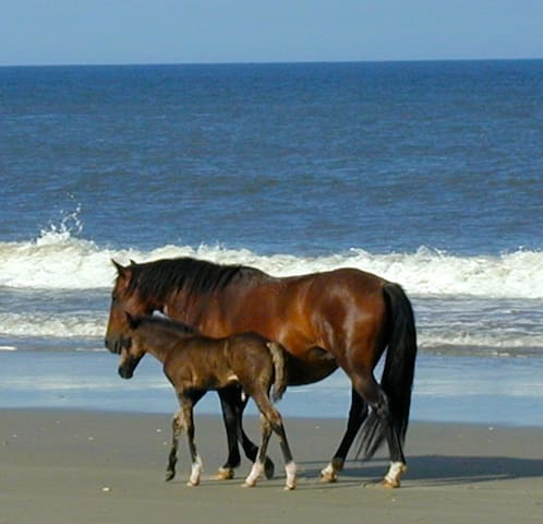 Mom & Foal strolling on our beach!